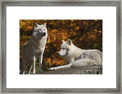 Framed Print featuring the photograph Two Arctic Wolves On Rock Hill by Wolves Only
