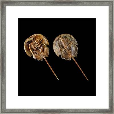 Two Atlantic Horseshoe Crabs Framed Print by Science Photo Library