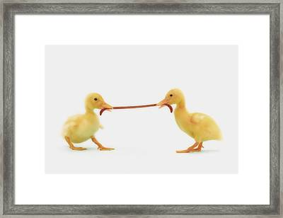 Two Baby Ducklings Fighting Framed Print