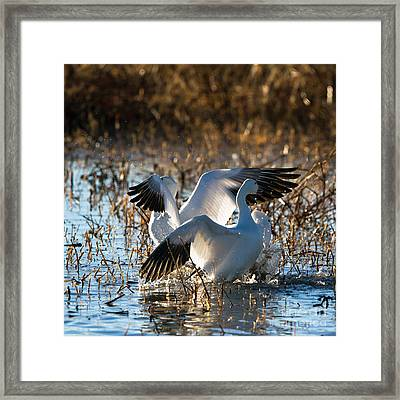 Two Backlit Snow Geese Framed Print