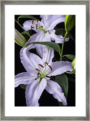 Two Beautiful White Lillies Framed Print