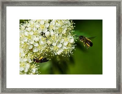 Two Bees On A Rowan Truss - Featured 3 Framed Print by Alexander Senin