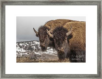 Two Bison Framed Print
