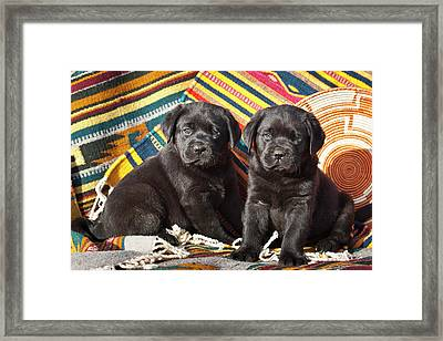 Two Black Labrador Retriever Puppies Framed Print