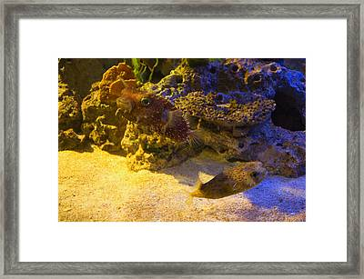 Two Blow Fish  Framed Print by Chris Flees