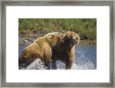 Two Brown Bears Fight Over Salmon At Framed Print by Greg Hensel