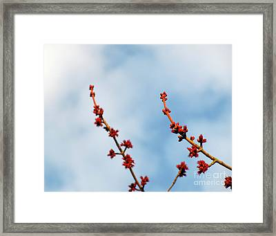 Two Budding Branches Framed Print by CML Brown