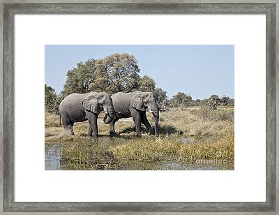 Framed Print featuring the photograph Two Bull African Elephants - Okavango Delta by Liz Leyden