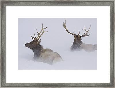 Two Bull Elk Lying In Deep Snow, Alaska Framed Print