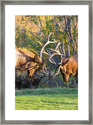 Two Bull Elk Sparring Framed Print by James BO  Insogna