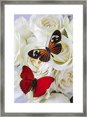 Two Butterflies On White Roses Framed Print by Garry Gay