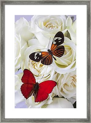 Two Butterflies On White Roses Framed Print