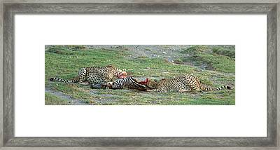 Two Cheetahs Acinonyx Jubatus Eating Framed Print by Panoramic Images