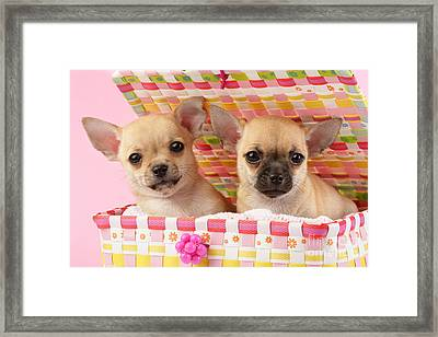 Two Chihuahuas Framed Print by Greg Cuddiford