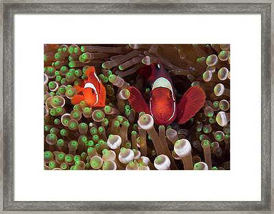 Two Clownfish (amphiprion Ocellaris Framed Print by Jaynes Gallery
