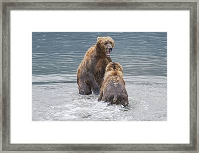 Two Coastal Brown Bears Face-off In An Framed Print by John Delapp