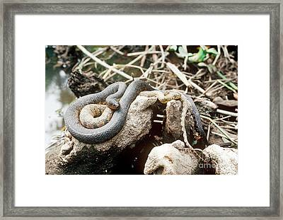 Two Color Morphs Of Northern Water Snake Framed Print by Gregory G. Dimijian, M.D.