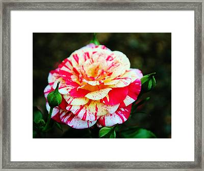 Two Colored Rose Framed Print by Cynthia Guinn