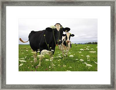 Two Cows In A Field Framed Print