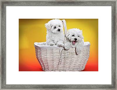Two Cute White Puppies In Basket Framed Print