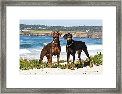 Two Doberman Pinschers At Carmel Beach Framed Print by Zandria Muench Beraldo