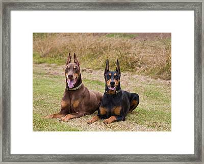 Two Doberman Pinschers Lying Side Framed Print by Zandria Muench Beraldo