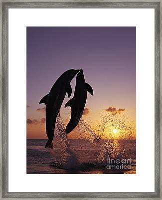 Two Dolphins Jumping Together At Sunset Framed Print by Brandon Cole