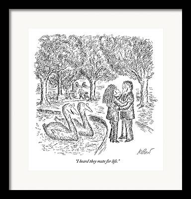 Swans Drawings Framed Prints