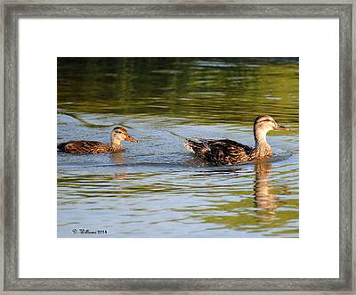 Two Ducks Swimming Framed Print