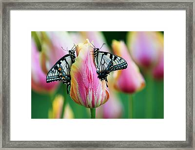 Two Eastern Tiger Swallowtail Framed Print
