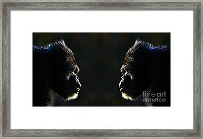 Two Elderly Chimps Studying Each Other  Framed Print