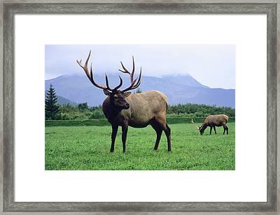 Two Elk Bulls Grazing In A Grass Framed Print by Angel Wynn