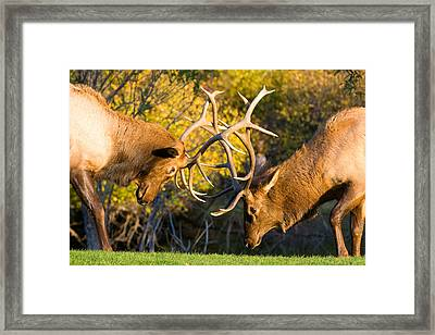 Two Elk Bulls Sparring Framed Print