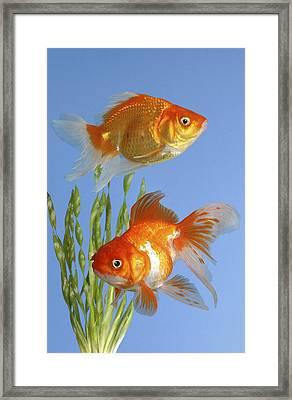 Two Fish Fs101 Framed Print by Greg Cuddiford