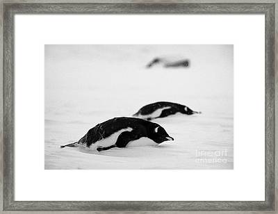 two gentoo penguins lying down in snowstorm blizzard whalers bay deception island Antarctica Framed Print by Joe Fox