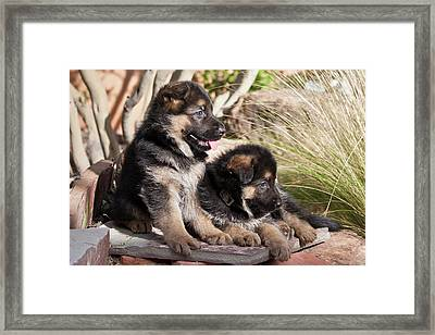 Two German Shepherd Puppies On A Rock Framed Print by Zandria Muench Beraldo