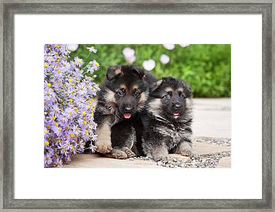 Two German Shepherd Puppies Sitting Framed Print by Zandria Muench Beraldo