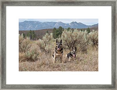 Two German Shepherds Together Framed Print