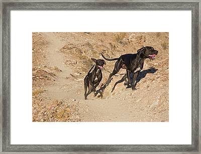 Two German Shorthaired Pointers Running Framed Print