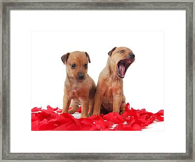 Two Golden Colored  Puppies Framed Print by Perry Harmon