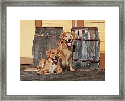Two Golden Retrievers Next To Two Framed Print by Zandria Muench Beraldo