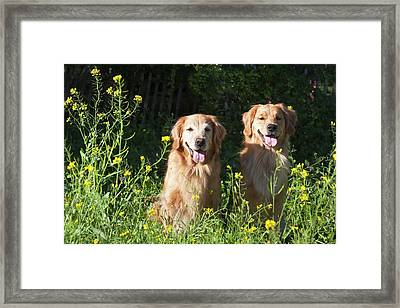 Two Golden Retrievers Sitting Together Framed Print