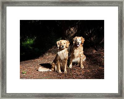 Two Golden Retrievers Taking Framed Print