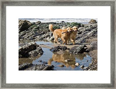 Two Golden Retrievers Walking Together Framed Print