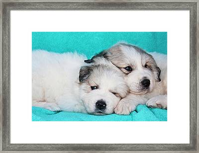 Two Great Pyrenees Puppies Lying Framed Print