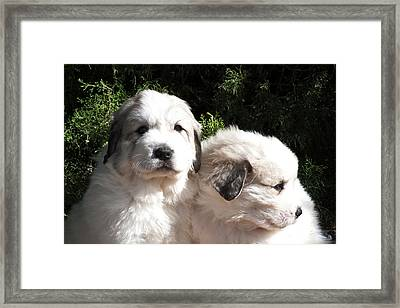 Two Great Pyrenees Puppies Sitting Framed Print by Zandria Muench Beraldo