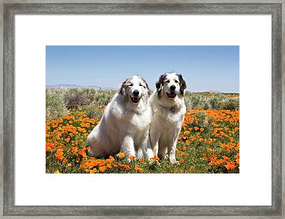 Two Great Pyrenees Sitting Together Framed Print