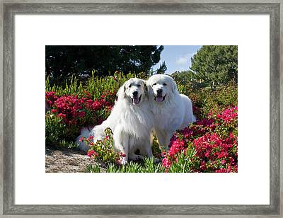 Two Great Pyrenees Together Among Red Framed Print by Zandria Muench Beraldo