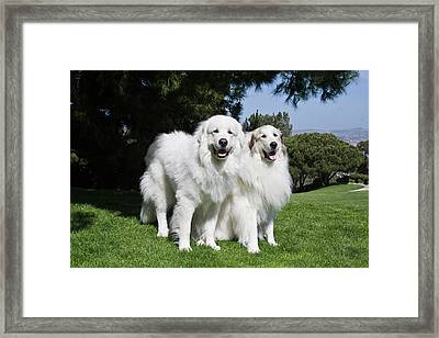 Two Great Pyrenees Together At A Laguna Framed Print
