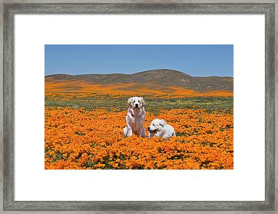 Two Great Pyrenees Together In A Field Framed Print by Zandria Muench Beraldo
